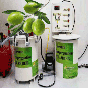 Vacuum Impregnation to modify physico chemical properties and sensory attributes of olive fruits cv. Domat